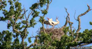 White storks in a tree