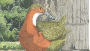 Drawing of the Aldabra rail which has dark orange feathers and a long beak