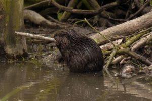 A Eurasian beaver