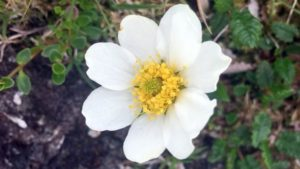 Mountain avens - a white flower with a yellow centre