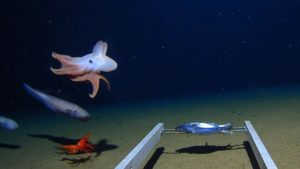 The octopus swimming in the Java Trench