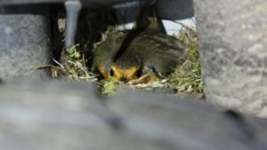 The robins nesting in the car