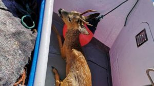 The roe deer on the boat